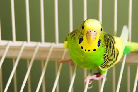 Capa - como limpar a gaiola do periquito